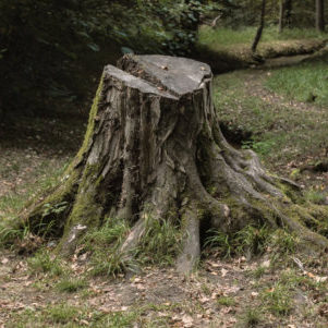 stump and roots